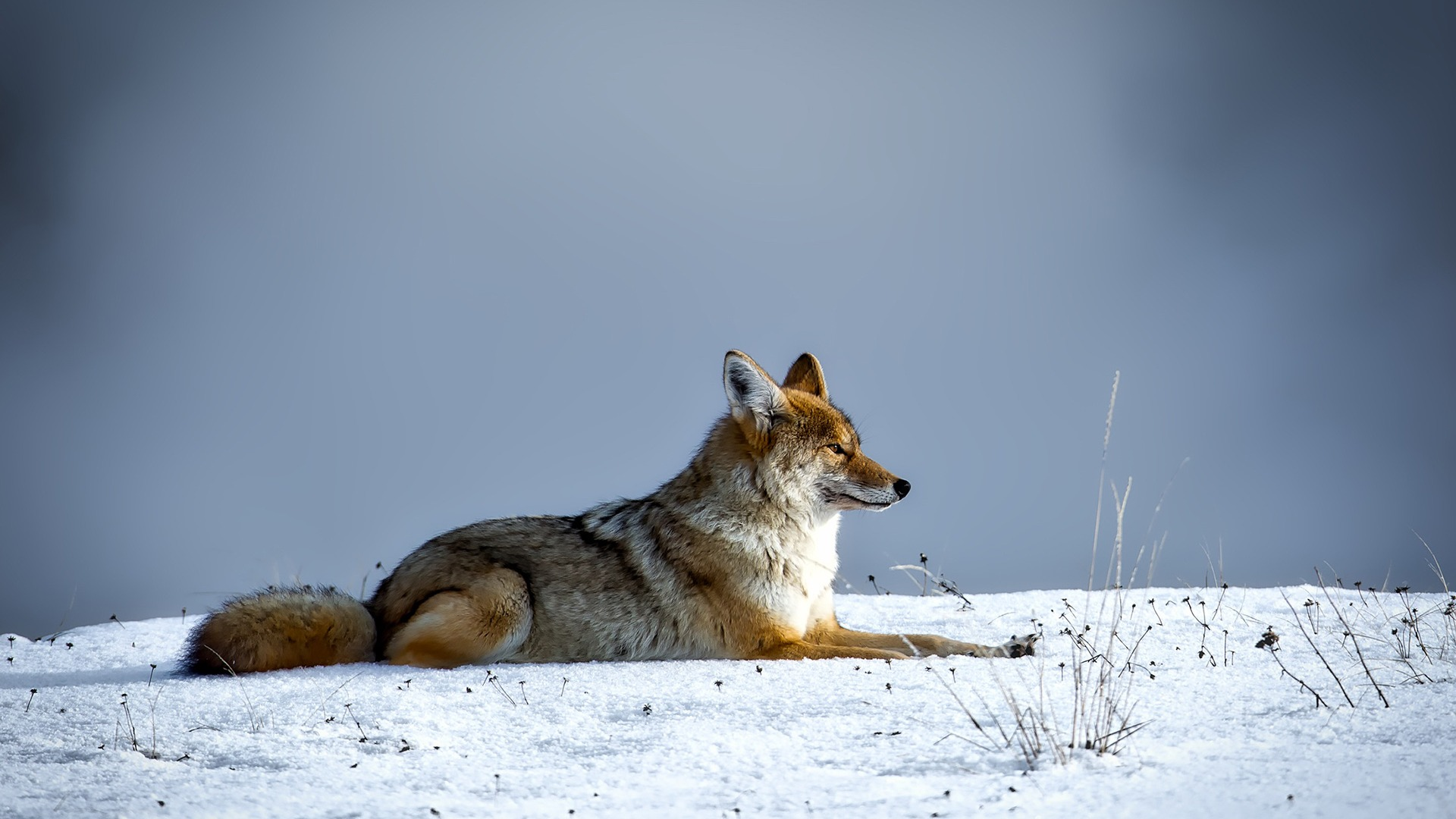 Canine_cold_coyote_Animal_Wallpaper_1920x1080.jpg