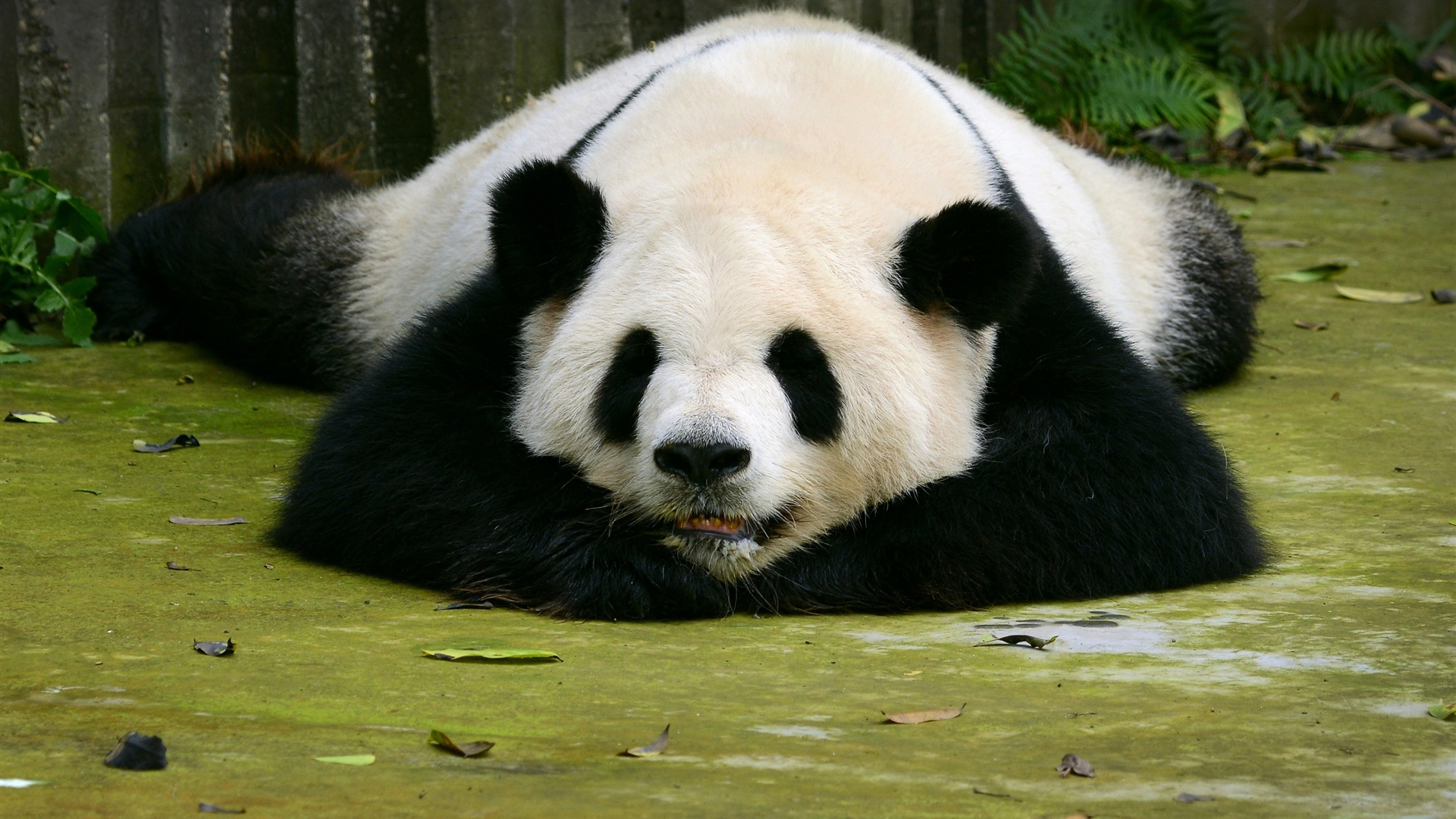 Panda-sleep-on-ground_1920x1080.jpg