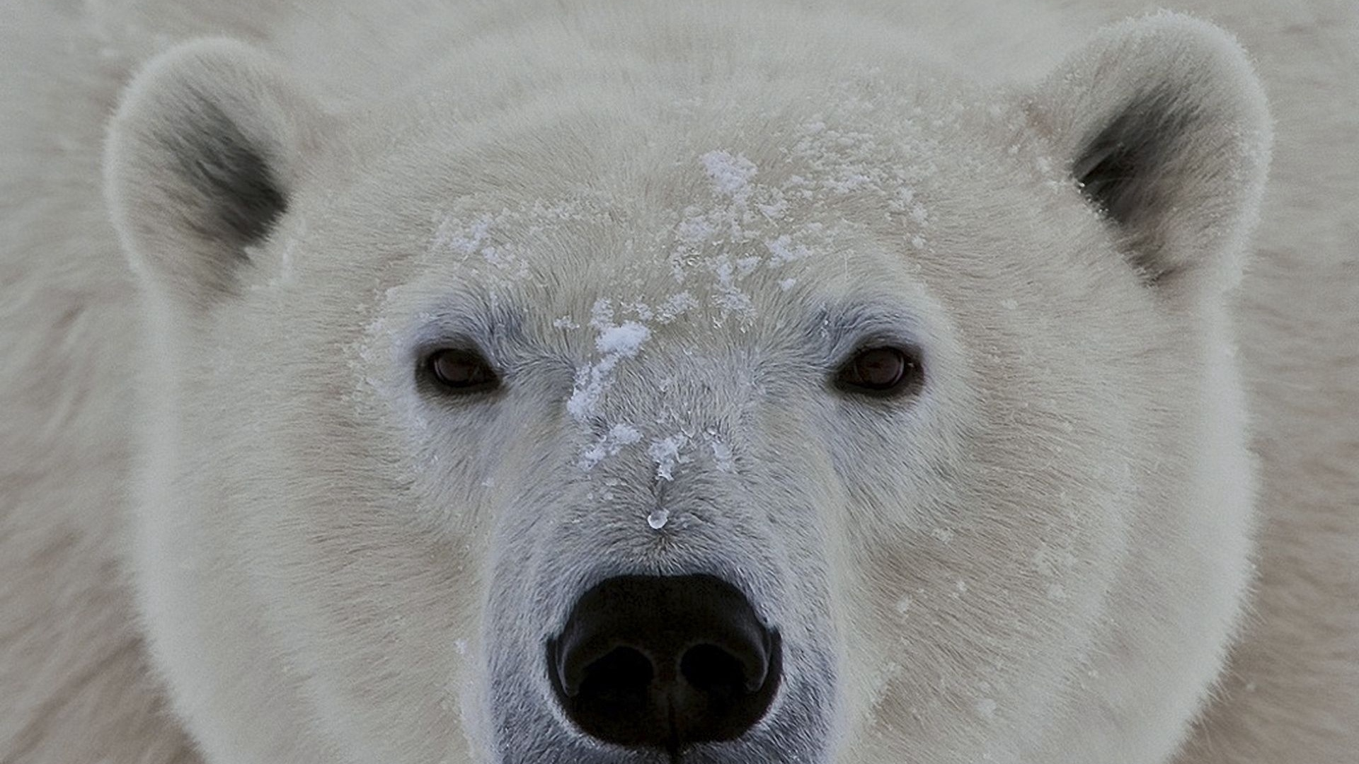 polar_bear_face_eyes_56088_1920x1080.jpg