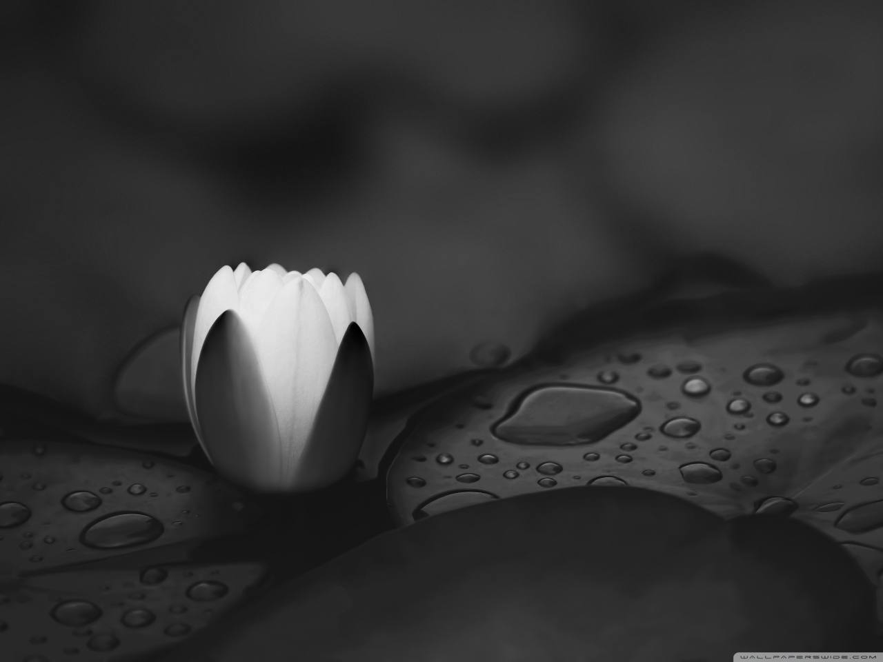 water_lily_monochrome-wallpaper-1280x960.jpg